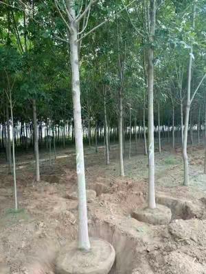 河南省驻马店市汝南县速生白蜡 3.5~5米