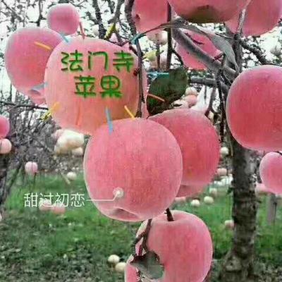 陕西省宝鸡市扶风县红富士苹果 纸袋 日晒面 75mm以上