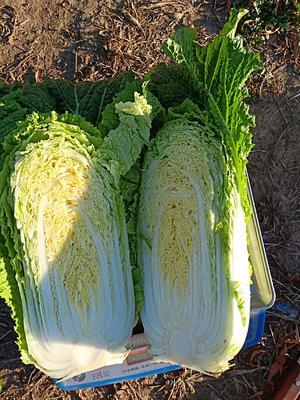 这是一张关于东北大白菜 3~6斤 净菜的产品图片