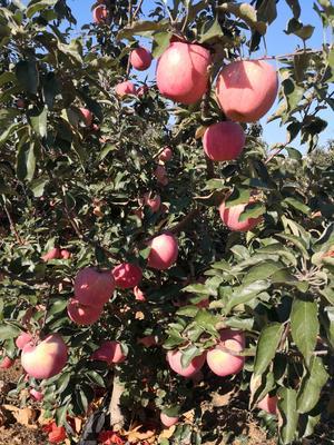 辽宁省葫芦岛市绥中县寒富苹果 纸+膜袋 片红 75mm以上
