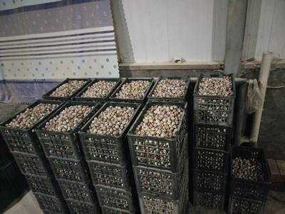 宁夏回族自治区吴忠市利通区黄羽鹌鹑蛋 食用 箱装