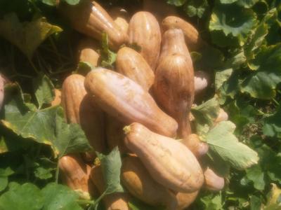 这是一张关于兴蔬蜜本南瓜 6~10斤 长条形的产品图片