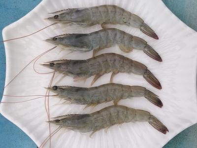 广东省佛山市顺德区南美白对虾 人工殖养 3-5钱