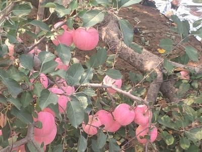 辽宁省葫芦岛市绥中县寒富苹果 纸袋 全红 90mm以上