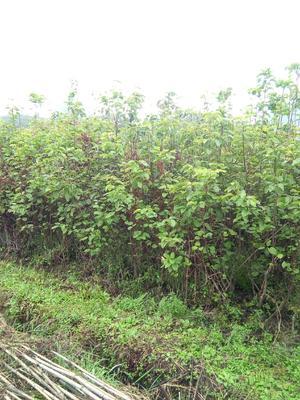 广西壮族自治区桂林市阳朔县黄金梨树苗 0.5~1米