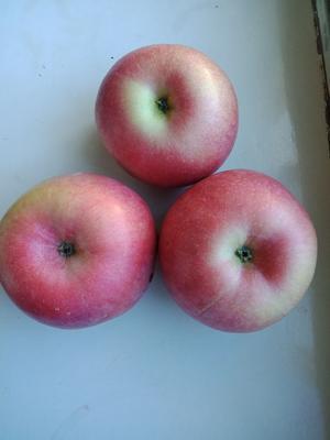 这是一张关于寒富苹果 纸袋 全红 70mm以上的产品图片