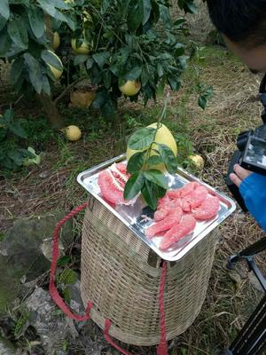 四川省泸州市江阳区红肉蜜柚 2.5斤以上