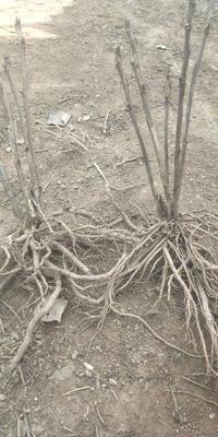 安徽省亳州市谯城区油用牡丹种苗 2cm以下 4~6cm 0.5米以下