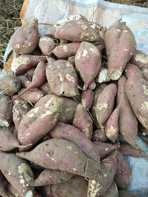安徽省亳州市蒙城县商薯19号 红皮 混装通货