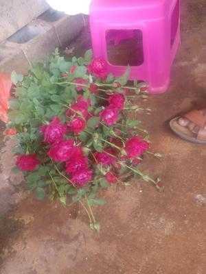 这是一张关于玫瑰苗的产品图片