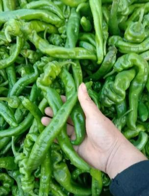 这是一张关于螺丝椒 10~15cm 靑色 中辣的产品图片