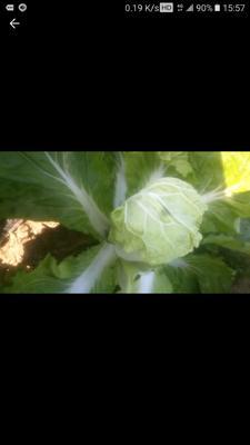 这是一张关于夏阳白菜 2~3斤 二毛菜的产品图片