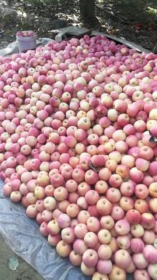 新疆维吾尔自治区喀什地区叶城县红富士苹果 纸袋 全红 75mm以上