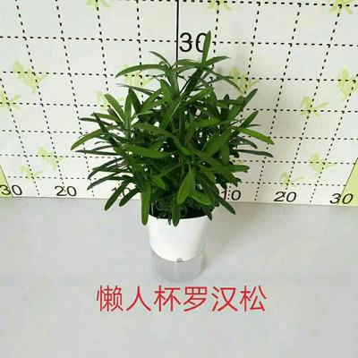 广东省广州市荔湾区台湾罗汉松盆景