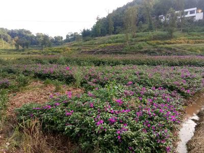 重庆九龙坡区紫花三角梅 1.5~2米