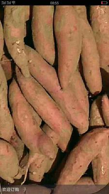 河北省保定市雄县烟薯25 红皮 3两~6两