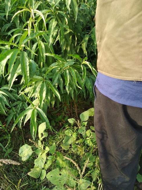 黄桃树苗 1.5~2.0米