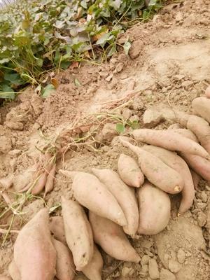 河南省濮阳市清丰县黄心红薯 红皮 混装通货