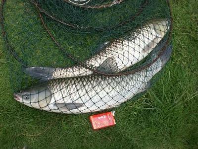 四川省达州市渠县池塘草鱼 人工养殖 1-2.5公斤
