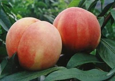 这是一张关于蜜桃苗 0.5~1米的产品图片