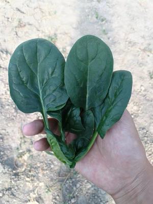 这是一张关于黑圆叶菠菜种子的产品图片