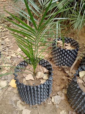这是一张关于中东海枣的产品图片