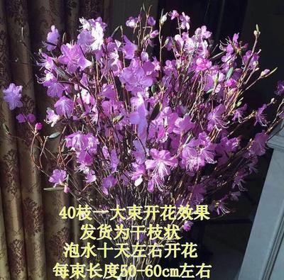 黑龙江省大兴安岭地区塔河县映山红 0.5~1米