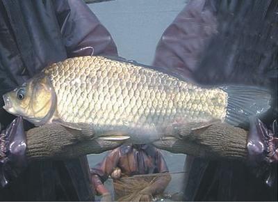 这是一张关于池塘鲫鱼 人工养殖 0.25-1公斤的产品图片
