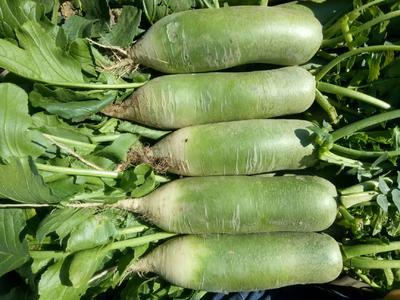 天津北辰区高青萝卜 1~1.5斤