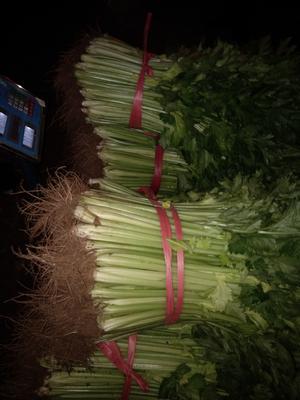 山东省济南市济阳县西芹 40~45cm 大棚种植 0.5~1.0斤