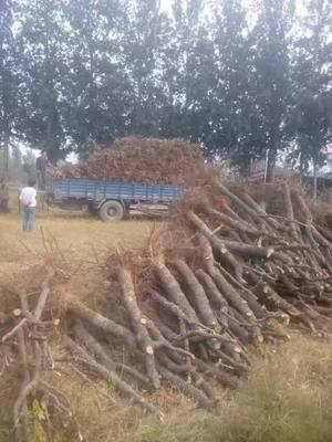 这是一张关于金丝枣苗的产品图片