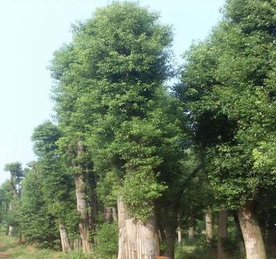 广西壮族自治区桂林市全州县骨架香樟
