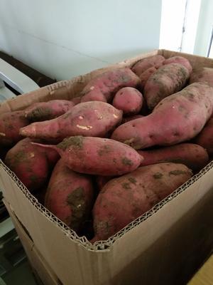 辽宁省锦州市黑山县沙地红薯 紫皮 6两~1斤
