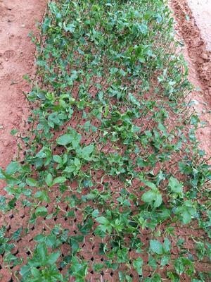 这是一张关于紫香百香果苗的产品图片