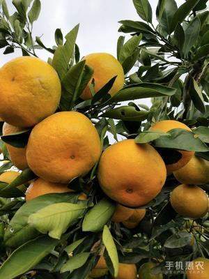 这是一张关于蜜桔 6 - 6.5cm 2 - 3两的产品图片