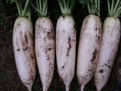 河北省廊坊市固安县白萝卜 1~1.5斤