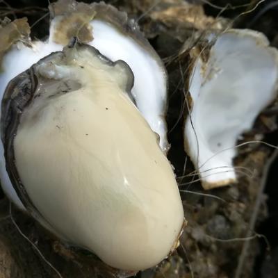这是一张关于台山生蚝 人工殖养 3-4两/只的产品图片