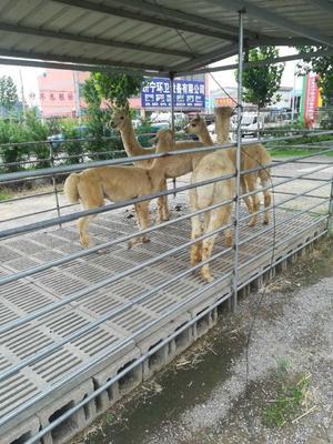 山东省济宁市梁山县澳洲羊驼
