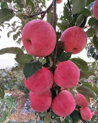 辽宁省锦州市北镇市寒富苹果 纸袋 条红 70mm以上