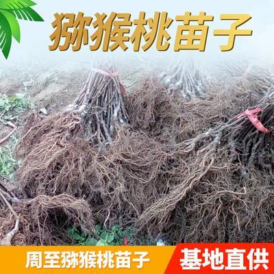 陕西省西安市周至县猕猴桃实生苗 实生苗