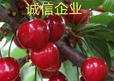 贵州省毕节市大方县玛瑙红樱桃树苗