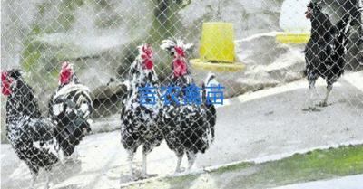 这是一张关于贵妃鸡苗的产品图片