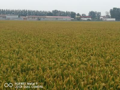 天津宝坻区粳稻谷 晚稻