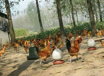 这是一张关于土鸡苗的产品图片