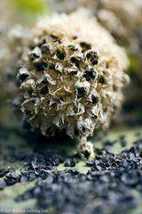 这是一张关于沙葱种子的产品图片
