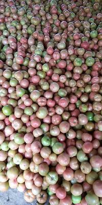 这是一张关于粉果番茄 不打冷 硬粉 弧二以上的产品图片