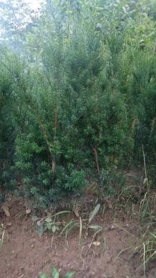 陕西省宝鸡市凤县曼地亚红豆杉 1~1.5米