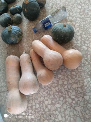 陕西省汉中市城固县奶油南瓜 0.7~1.0斤 长条形