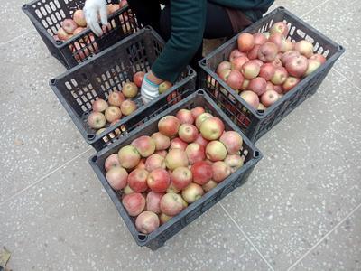 这是一张关于秦冠苹果 光果 表光 70mm以上的产品图片