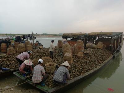广西壮族自治区北海市海城区北海牡蛎 人工殖养 1-2两/只